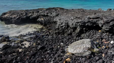 Time lapse video of Hawaiian Green Sea Turtle laying on the sand along the shoreline