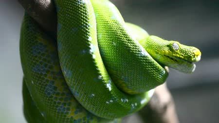 had : Green snake in rain forest, Thailand