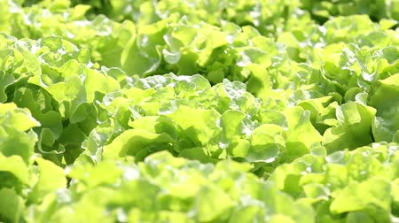 cultivar : Hydroponic vegetable is planted in a garden, HD 1080P