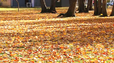 autumn : HD: falling autumn leaves in the wind, arrow town, new zealand, 1920x1080 Stock Footage