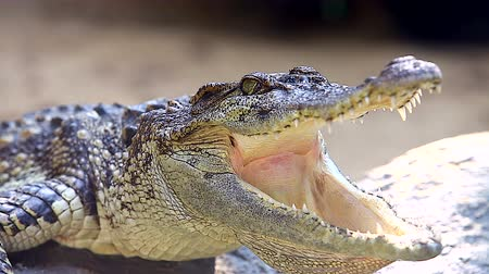 aligátor : 4K: Crocodile close up with mouth wide open and lying in the sun, High quality, Ultra HD, 3840x2160