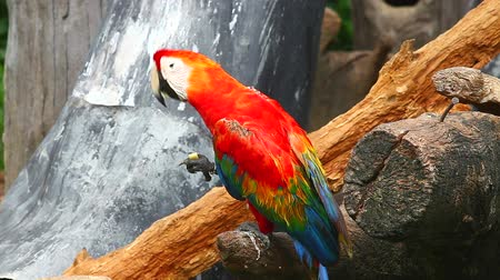 arara : HD: The red-and-blue Macaw (Ara ararauna), also known as the Blue-and-gold Macaw, is a member of the group of large Neotropical parrots known as macaws, 1920x1080
