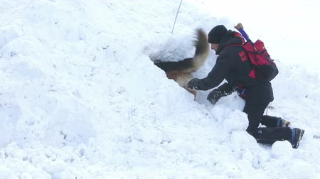 rescue dog : Sofia, Bulgaria - January 29, 2015: Rescuers from Mountain Rescue Service at Bulgarian Red Cross are participating in a training cource with their service dogs which took place at Vitosha mountain. Stock Footage
