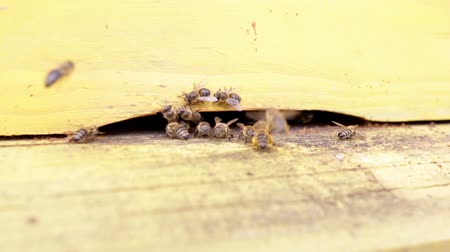 pszczoła : Honey bees are flying in and out of an yellow hive gathering pollen for honey. Wideo