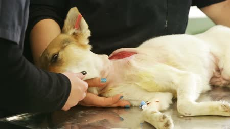 being prepared : A dog is being prepared by nurces for an operation in a veterinary clinic. The surgery is skin-grafting sfter the dog was injured in a dog fight. Stock Footage