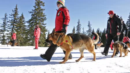 rescue dog : Sofia, Bulgaria - January 28, 2016: Saviors from the Mountain Rescue Service at Bulgarian Red Cross are training with their rescue dogs a situation of people buried in an avalanche.
