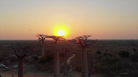 Aerial: Sunset at the avenue of the baobabs in Madagascar