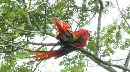 amazonka : Two Scarlet Macaw walking and perched on a tree. It has suffered from local extinction through habitat destruction and capture for the parrot trade Wideo
