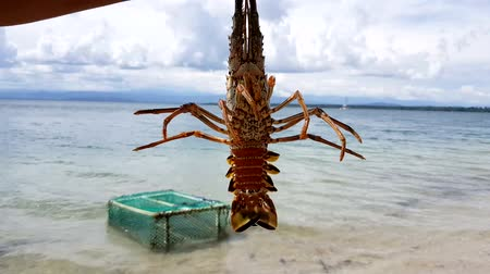 Closeup of alive lobster in the beach. Lobsters need to be cook alive because they have harmful bacteria naturally present in their flesh. Once the lobster is dead, these bacteria can rapidly multiply