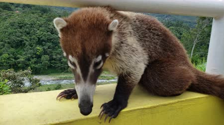 fauna of the tropics : Close up of Nasua is a genus within the family Procyonidae, whose best-known members are raccoons. The two species within the genus are generally referred to as coatis.