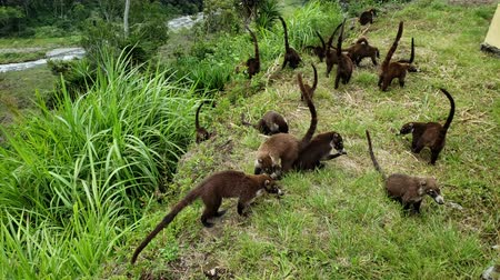 brezilya : Colony of Cute Coati (Nasua) looking for food in the jungle in Panama Stok Video