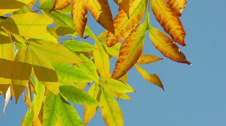 ayrılmak : Yellow autumn leaves blow in the wind against the blue sky