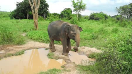 nemzeti : Wild elephant drinking water in Uda Walawe National Park, Sri-Lanka