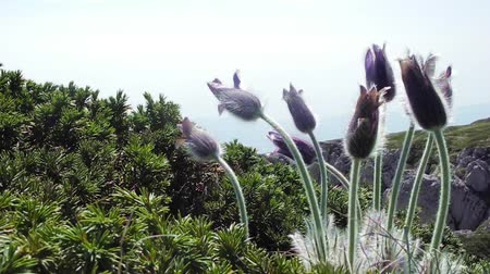 pasque : Pulsatilla patens in Crimea mountains