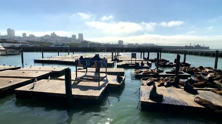 zegel : San Francisco, USA - September 10, 2018: Sea lions lie on the famous touristic place Pier 39 Stockvideo