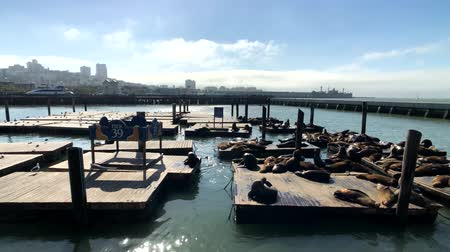 yalan : San Francisco, USA - September 10, 2018: Sea lions lie on the famous touristic place Pier 39 Stok Video