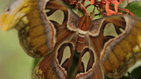 clip of Atlas moths big wings