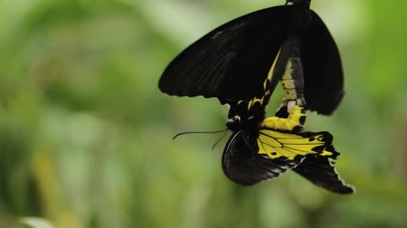 A medium close up of a black and yellow butterflies mating in an Indonesian garden