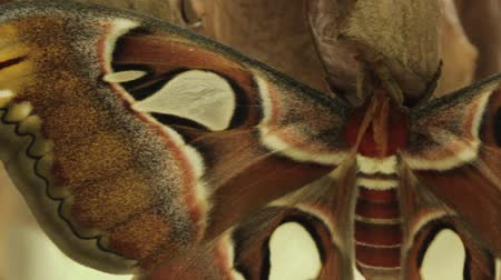close up clip of attacus moth