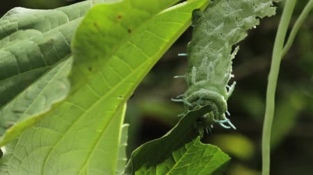 housenka : clip of a caterpillar eating a leaf Dostupné videozáznamy
