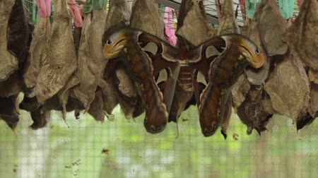 biggest : clip of Atlas moth on a cacoon Stock Footage