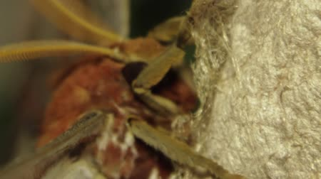 a clip of the head of an Atlas moth