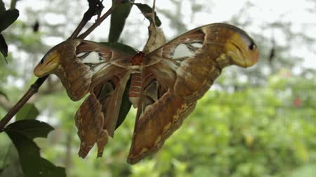 a clip of an atlas moth on a cocoon