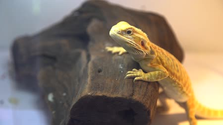 A close up of a small bearded dragon resting on a small piece of wood Dostupné videozáznamy