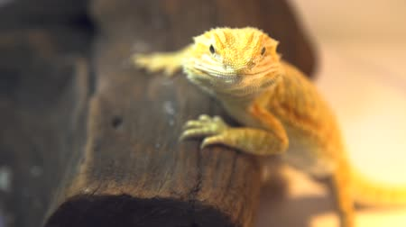 A close up of a yellow bearded dragon resting on a brown piece of wood
