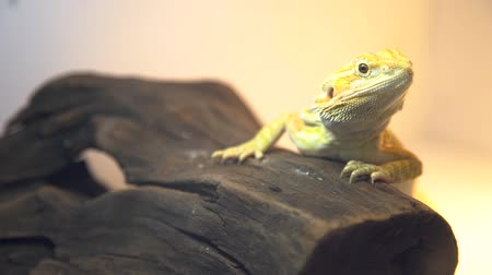 A close up of a yellow bearded dragon sitting silently on a brown piece of wood