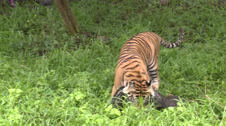 HD 1080p resolution of a male tamed Bengal tiger running and playing around with an Indonesian man in a green forest in Indonesia Dostupné videozáznamy