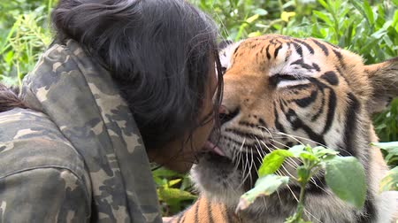 HD 1080p resolution of a male tamed Bengal tiger being fed raw chicken meat by an Indonesian man while also licking him on the face in Indonesia