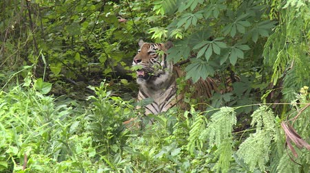 HD 1080p resolution a male wild Bengal tiger resting in a forest in Indonesia Dostupné videozáznamy