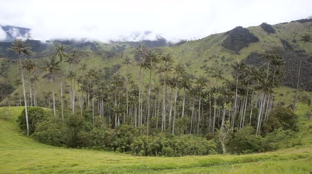Анды : A grouping of wax palms surrounded by pasture in the mountains outside of Salento, Colombia.