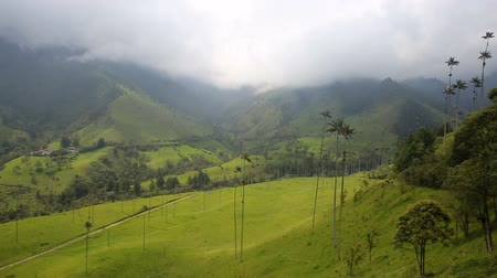 Анды : Wax palms in the Cocora Valley near Salento, Colombia. Стоковые видеозаписи