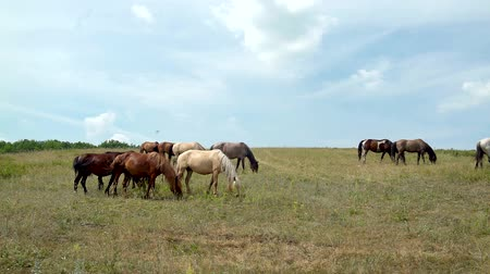 moğolistan : horses grazing on the background of cloudy sky Stok Video