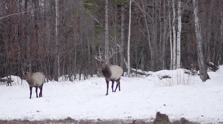 billy goat : deers out of the snow woods