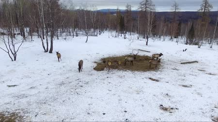 jackson hole wyoming : deer in winter, aerial shot Stock Footage