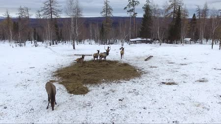 jackson hole wyoming : deer in Siberia aerial shot Stock Footage