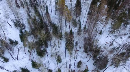 jackson hole wyoming : deer in winter forest aerial footage