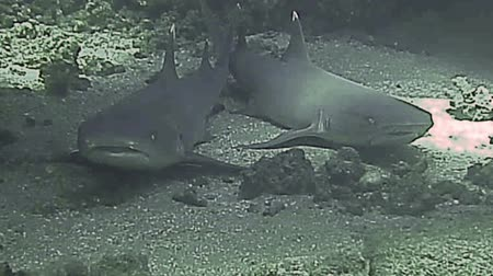 yüzgeç : White tip reef sharks resting on sea bed