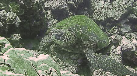 šnorchl : Green Sea Turtle on a coral reef Dostupné videozáznamy