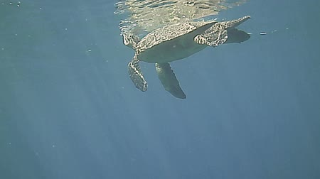 ploutve : Green Sea Turtle swimming underwater in the blue