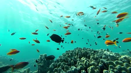 podwodny swiat : Underwater coral reef  landscape with colourful fish Wideo