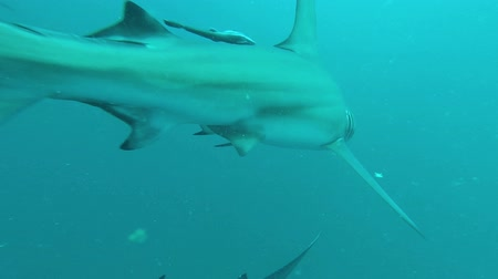 hammerhead : Blacktip Sharks swimming around bait