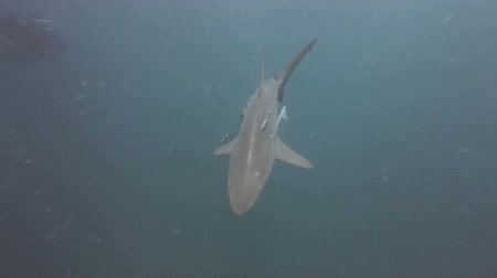 hammerhead : Black tip Sharks swimming around bait