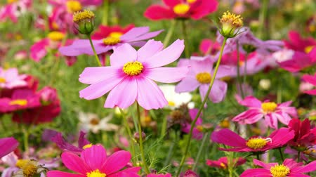 Beautiful Cosmos flowers noon day sun Stock Footage