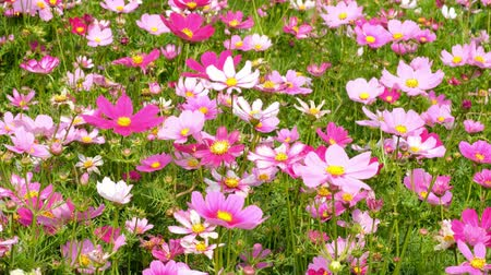Beautiful Cosmos flowers noon day sun Vídeos