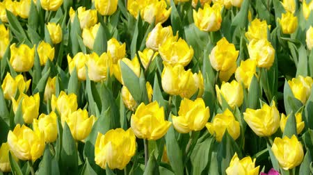 Field of yellow tulips Stock Footage