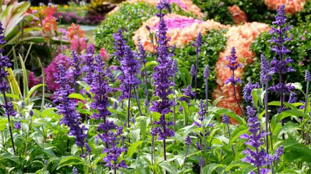 salie : Salvia-farinacea benth in tuin Stockvideo